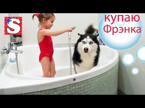 VLOGSobaka-Sibirskaya-Haski-kupaem-v-vannoj-Dog-Husky-bathe-the-bathroom